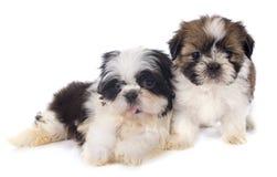 Puppyshitzu stock foto's