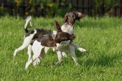 Puppyspel en looppas tegen de achtergrond van groen gras Royalty-vrije Stock Foto's