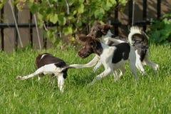 Puppyspel en looppas tegen de achtergrond van groen gras Stock Foto's