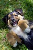 Puppyspelen op Boerderijgazon Royalty-vrije Stock Fotografie