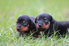 Puppytekkel Royalty-vrije Stock Foto's