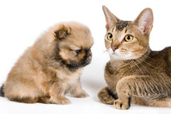 The puppywith a cat. The puppy of the spitz-dog with a cat Stock Image