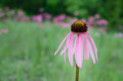 Puprle Coneflower Stock Images