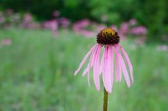 Puprle Coneflower. Purple Coneflower in an open field Stock Images