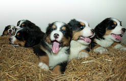 pups Royaltyfria Foton