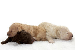 Pups. Three little puppies sleeping close together Stock Photography