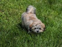 pups Fotografia Stock