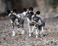 Pups africani del cane selvaggio Immagini Stock