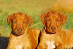 Pups attenti di Ridgeback Fotografia Stock Libera da Diritti