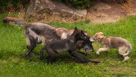 Pups and Black Phase Grey Wolf (Canis lupus) Play Stock Photo