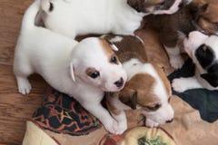 Pups Dalmatian Fotografie Stock