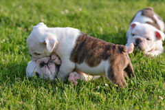 Pups Dalmatian Immagine Stock