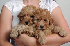 Pups del barboncino di giocattolo Fotografia Stock Libera da Diritti