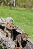 Pups del coyote Fotografie Stock