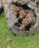 Pups del coyote Fotografia Stock