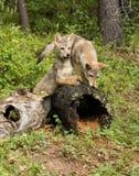 Pups del coyote Immagini Stock