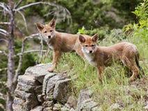 Pups del coyote sul outcropping della roccia Immagine Stock