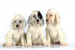 Pups dell'incastonatore inglese Fotografia Stock Libera da Diritti