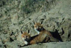 pups della volpe rossi Immagini Stock Libere da Diritti