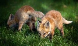 Pups di Fox nel campo Immagine Stock Libera da Diritti
