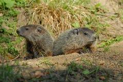 Pups di Groundhog sul loro portico del fron Fotografie Stock