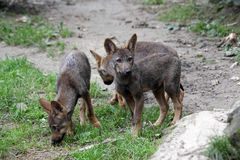 Pups di lupo iberici Fotografia Stock Libera da Diritti