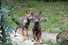 Pups di lupo iberici Fotografia Stock