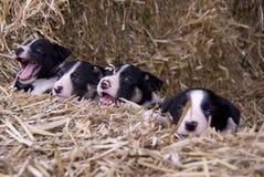 pups för collie fyra royaltyfria foton