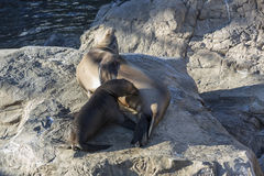 Pups with the mother drinks milk, Seal with baby on rocks with s Stock Photography