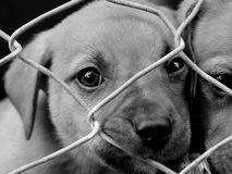 Pups in a pen. Homeless animals series. Sad pups looking out from behind the wire of their pen. Black and white image royalty free stock images