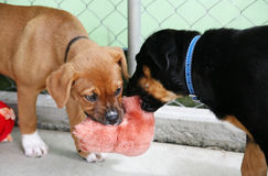 Pups in a pen playing tug. Two puppies in a pen playing tug with a toy royalty free stock photos