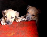 Pups royalty free stock photos