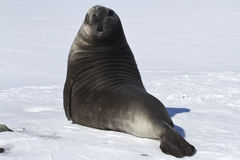 Pups southern elephant seals in the snow. Bending back Royalty Free Stock Photos