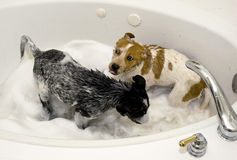 Pups Taking a bath. Royalty Free Stock Photos