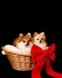 Pups in un cestino Fotografie Stock Libere da Diritti