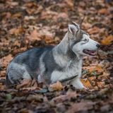 Pupy, από την Αλάσκα αρσενικό familiaris Λύκου Malamute Canis στοκ φωτογραφία με δικαίωμα ελεύθερης χρήσης