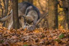 Pupy, από την Αλάσκα Malamute, αρσενικό familiaris Λύκου Canis στοκ εικόνα με δικαίωμα ελεύθερης χρήσης