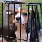Pupy σκυλί λαγωνικών στο αγρόκτημα Στοκ Φωτογραφία