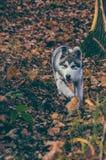 Pupy, alaskischer Malamute Canis Lupus familiaris männlich lizenzfreie stockbilder