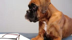 Pupy arbete för gullig boxare på bärbara datorn lager videofilmer