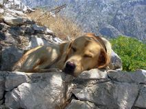 Pupy en sommeil images libres de droits