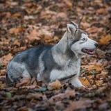 Pupy, familiaris de lupus de Canis de Malamute d'Alaska masculins photo libre de droits