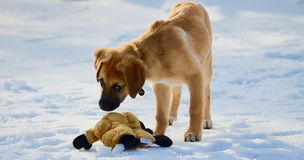 Pupy and his toy in winter Stock Image