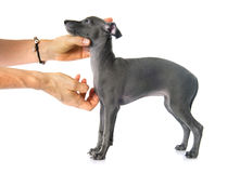 Pupy italian greyhound Royalty Free Stock Image