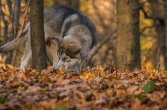 Pupy, Malamute d'Alaska, familiaris de lupus de Canis masculins image libre de droits
