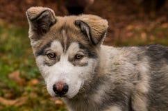 Pupy, mannetje het Van Alaska van de wolfszweerfamiliaris van Malamute Canis royalty-vrije stock foto