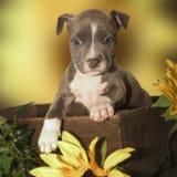 Pupy sauvage Photographie stock libre de droits