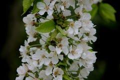 pur Cherry With Blurs Background blanc de floraison images stock