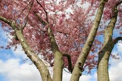 pur Rose de floraison fleurissant Sakura japonais photo stock