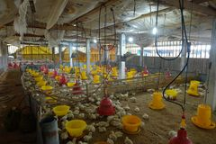 Purbalingga, Indonesia - 5 de mayo de 2019: los pollos colocan en granja imagen de archivo libre de regalías